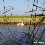 Henry-Wallinga©-Gewonde-Zwaan-Kerkwetering-Mastenbroek-06