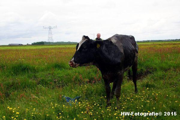 Henry-Wallinga©-Koeien-Sloot-Zwartsluis-11