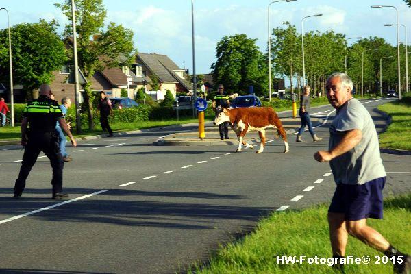 Henry-Wallinga©-Wildwest-Koe-Giethoorn-02