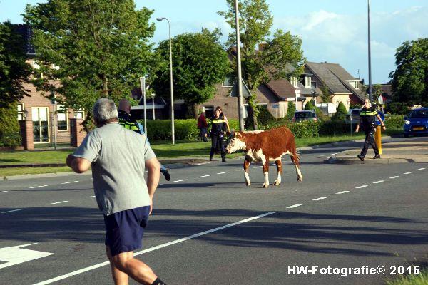 Henry-Wallinga©-Wildwest-Koe-Giethoorn-03