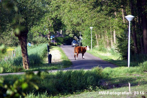 Henry-Wallinga©-Wildwest-Koe-Giethoorn-05