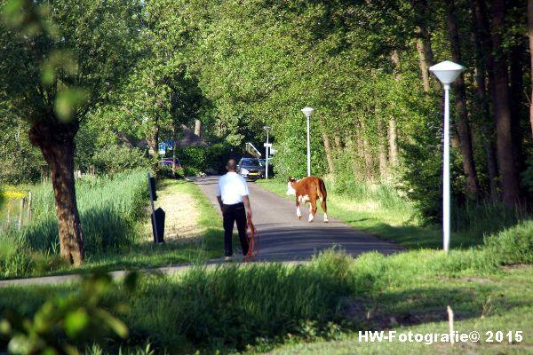 Henry-Wallinga©-Wildwest-Koe-Giethoorn-06