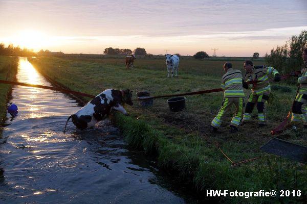 Henry-Wallinga©-Koe-Ringweg-Genemuiden-10